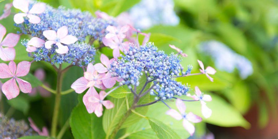 紫陽花 の 挿し木